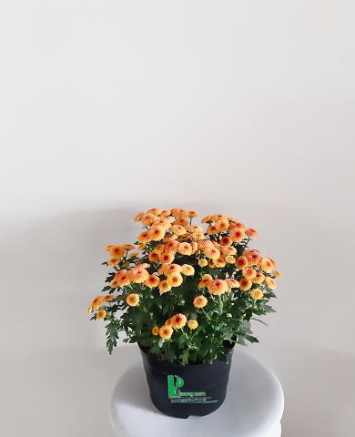 Hoa cúc Đà lạt 01