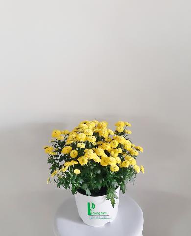 Hoa cúc Đà lạt 02