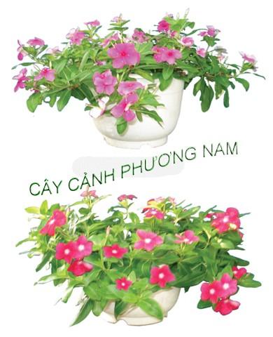 Cây Dừa Cạn