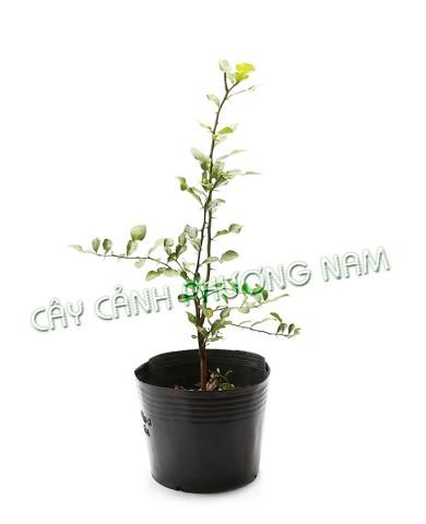 Chậu Cây Chanh Thái