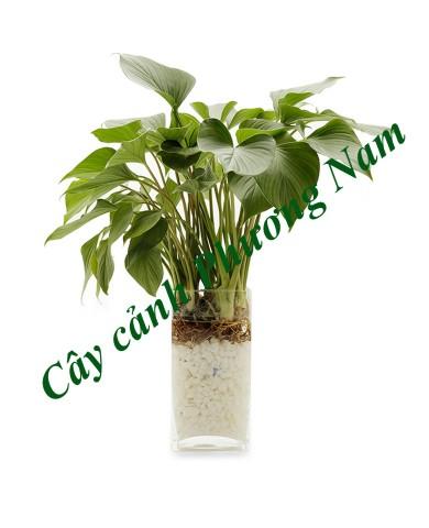 Cây Thanh Tâm